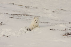 Healthy Arctic Fox stock photos