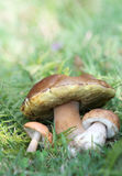Healthy autumn mushrooms Royalty Free Stock Photography