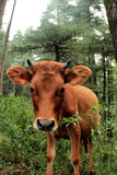 Healthy baby cow Stock Photo
