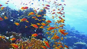Healthy tropical beautiful coral reef with shoal or red coral fish royalty free stock photos