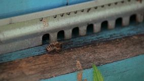 A healthy bee pulls a dead bee from the hive and drops down. slow motion. stock footage