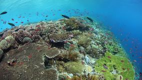 Healthy and biodiverse coral reef in Alor. Colorful fish swim above a vibrant coral reef near Alor, Indonesia. This tropical region, part of the Coral Triangle stock video