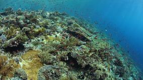 Healthy and biodiverse coral reef in Indonesia. Colorful fish swim above a vibrant coral reef near Alor, Indonesia. This tropical region, part of the Coral stock footage