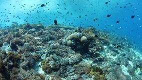 Healthy and biodiverse reef in Alor, Indonesia. Colorful fish swim above a vibrant coral reef near Alor, Indonesia. This tropical region, part of the Coral stock video footage