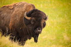 Healthy bison on the grasslands. Healthy male bison, also known as the American buffalo, on the grasslands of South Dakota Stock Photography