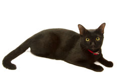 Healthy black cat lying Stock Photography
