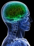 Healthy brain Royalty Free Stock Images