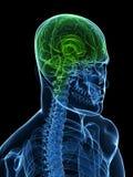 Healthy brain Royalty Free Stock Photography