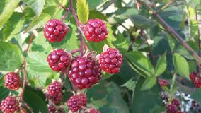 Blackberry. Bramble fruits in red. Unripe fruits. stock photos