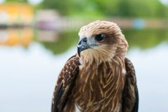 Healthy brown hawk standing portraited in front of lake backgrou. Nd Stock Photo