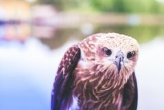 Healthy brown hawk standing portraited in front of lake background royalty free stock photo