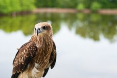 Healthy brown hawk standing portraited in front of lake backgrou. Nd Stock Photos