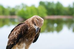 Healthy brown hawk standing portraited in front of lake backgrou. Nd Royalty Free Stock Photos