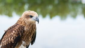 Healthy brown hawk standing portraited in front of lake backgrou. Nd Royalty Free Stock Images