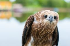 Healthy brown hawk standing portraited in front of lake backgrou. Nd, staring to camera Stock Image