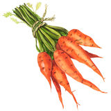 Healthy bunch of organic carrots isolated. Watercolor painting on white background Royalty Free Stock Photos