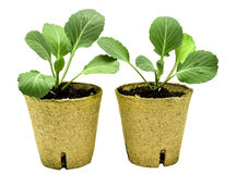 Healthy Cabbage Plants Ready For Planting Stock Image