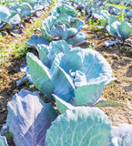 Healthy Cabbage Rows. Farmers on the Saanich Peninsula try to use organic methods to grow their healthy  crops by the sea Stock Photo
