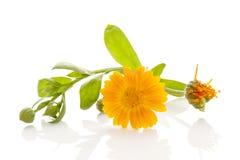 Calendula medicine healthy flower Stock Images