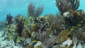Healthy Caribbean Coral Reef stock footage