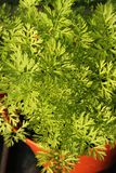 Healthy carrot foliage Royalty Free Stock Photo