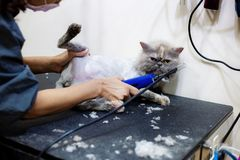 Woman are trimming hair of cat. Healthy cat with woman are trimming hair in pet shop royalty free stock image