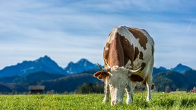 Healthy Cattle Cows In Pasture stock photo