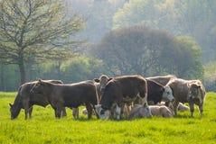Free Healthy Cattle Livestock, Idyllic Rural, UK Stock Photography - 31037892