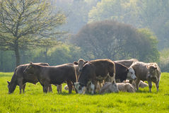 Healthy cattle livestock, Idyllic Rural, UK. Healthy animal livestock feeding in a lush rural environment Stock Photography