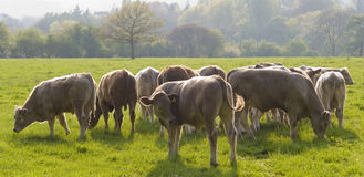 Healthy cattle livestock, Idyllic Rural, UK Stock Images