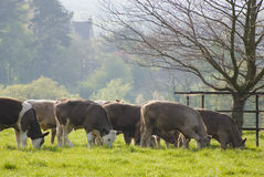 Healthy cattle livestock, Idyllic Rural, UK Stock Photography