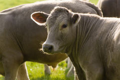 Healthy cattle livestock, Idyllic Rural, UK Royalty Free Stock Photo
