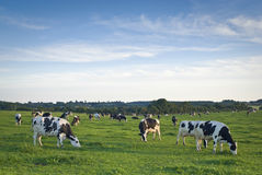 Healthy cattle livestock, Idyllic Rural, UK. Healthy animal livestock feeding in a lush rural environment Royalty Free Stock Image
