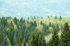 Healthy, colorful coniferous and deciduous forest Royalty Free Stock Images