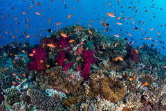 Healthy and Colorful Coral Reef Royalty Free Stock Image