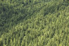 Healthy coniferous trees growing in the national park. Beautiful green conifers and foliaceous forest. Lungs of the world Royalty Free Stock Photos