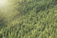 Healthy coniferous trees growing in the national park. Beautiful green conifers and foliaceous forest. Lungs of the world Stock Image
