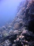 Healthy Coral Reef Royalty Free Stock Photo