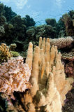 Healthy coral reef Royalty Free Stock Images