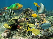 Healthy coral reef with colorful fish Royalty Free Stock Images