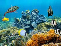 Healthy coral reef Royalty Free Stock Image
