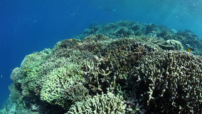 Healthy Coral Reef in Coral Triangle. Corals and fish thrive on a healthy reef in Raja Ampat, Indonesia. This tropical region is known for its extraordinary stock video