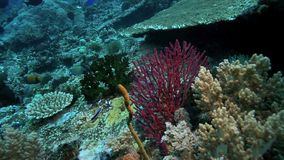 Healthy coral reef ecosystem underwater stock video footage