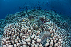 Healthy Coral Reef and Fish Royalty Free Stock Photo