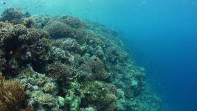 Coral Reef Drop Off in Wakatobi, Indonesia. A healthy coral reef grows in Wakatobi, Indonesia. This remote, tropical region is known for its incredible marine stock video