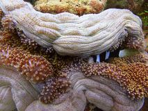 Healthy coral reefs in Sabah, Borneo. stock photography
