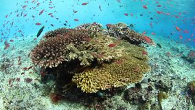 Healthy corals and fish in Alor, Indonesia. Colorful reef fish swim above a vibrant coral reef near Alor, Indonesia. This tropical region, part of the Coral stock video
