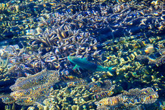 Healthy Corals and green fish in the Maldives, Laccadivian Sea royalty free stock photos