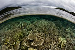Fragile Coral Reef Near Island in Raja Ampat. Healthy corals grow in the shallows next to a beautiful island in Raja Ampat, Indonesia. This region is known as Stock Image