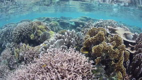 Healthy Corals Growing in Shallow Water in Raja Ampat stock video footage